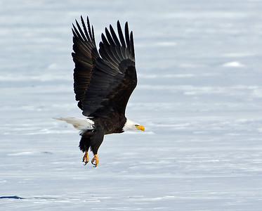 Bald Eagle Take-off 2, Seymour Lake, Vt