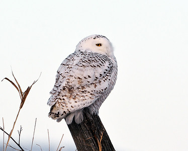 Snowy Owl On Fence Post, Addison, Vt