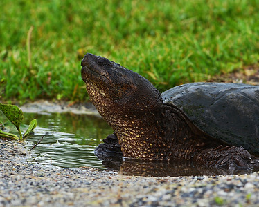 Snapping Turtle, Eagle Point NWR, Derby, VT