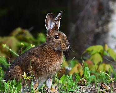 Snowshoe Hare In May 2, Morgan, Vt