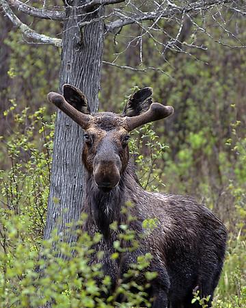 Bull Moose In May, Ferdinand, VT