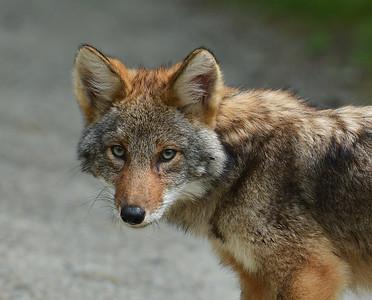 Coyote Pup 6, Conte NWR, VT