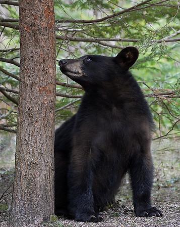 Black Bear , Morgan, Vt