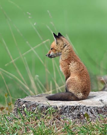 Red Fox Kit 4, Charleston, Vt