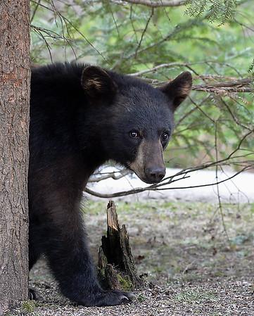 Black Bear Standing 2, Morgan, Vt