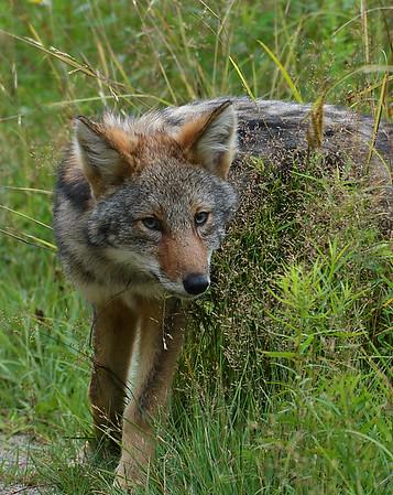 Coyote Pup 4, Conte NWR, VT