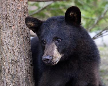 Black Bear Looking 2, Morgan, Vt