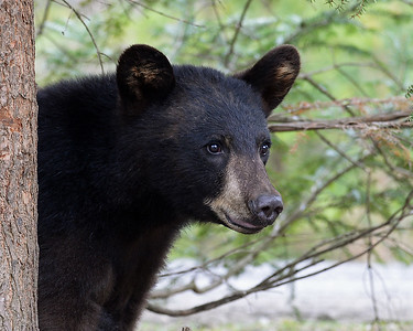 Black Bear Standing 1, Morgan, Vt