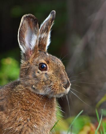 Snowshoe Hare In May, Portrait, Morgan, Vt