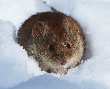 Winter Mouse, Victory, VT