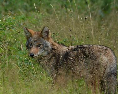 Coyote Pup 9, Conte NWR, VT