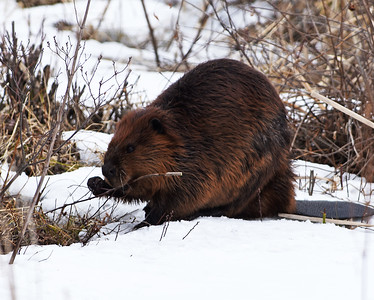 Beaver 6, Eagle Point NWR, Derby, Vt