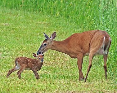 Whitetail Newborn 1, Morgan, Vt