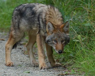 Coyote Pup 1, Conte NWR, VT