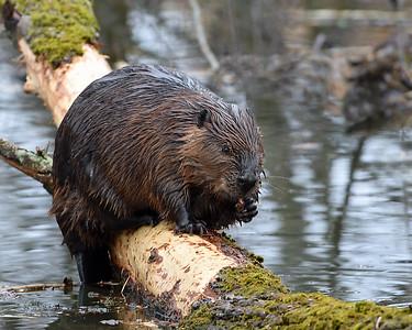 Beaver 2, Eagle Point NWR, Derby, Vt