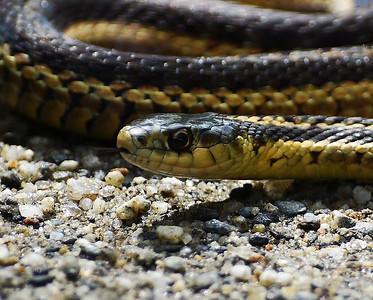 Garter Snake, Wenlock WMA, Vt