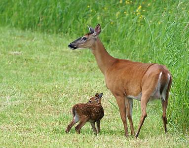 Whitetail Newborn 3, Holland, Vt
