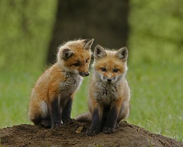 Red Fox Kits 1, Holland, VT