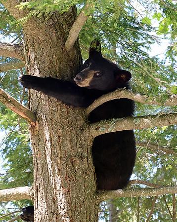 Black Bear In Tree 1, Morgan, Vt