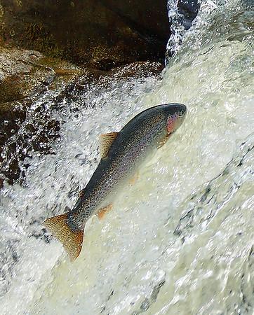 Willoughby River Steelhead 2, Orleans, VT