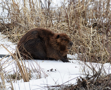 Beaver 4, Eagle Point NWR, Derby, Vt
