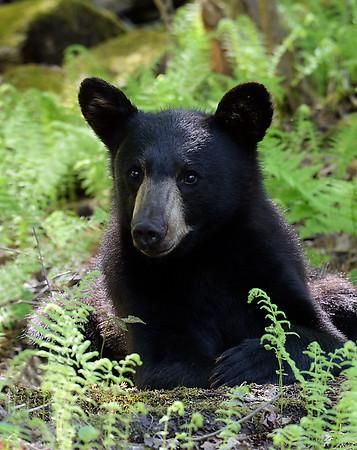 Black Bear Portrait, Morgan, Vt