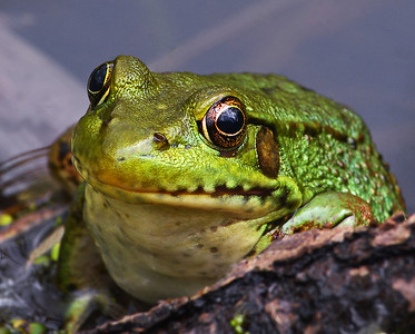 Green Frog Close-up, Eagle Point NWR, Derby, Vt