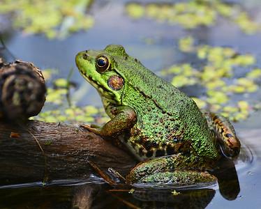 Green Frog, Eagle Point NWR, Derby, Vt
