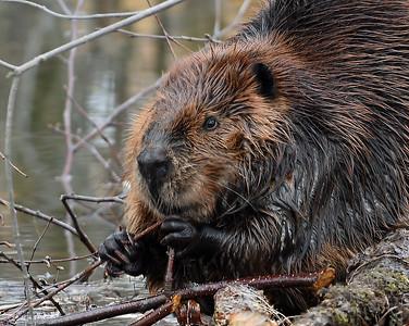 Beaver 1, Eagle Point NWR, Derby, Vt