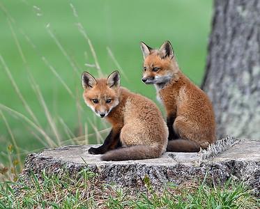 Red Fox Kits  2, Charleston, Vt