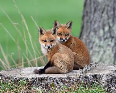 Red Fox Kits 1, Charleston, Vt