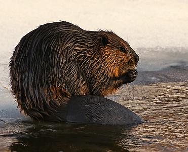 Winter Beaver, Victory Basin, VT