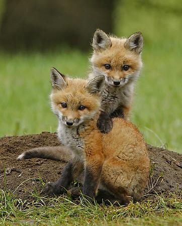 Red Fox Kits 3, Holland, VT