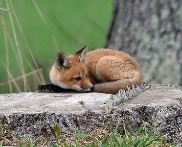 Red Fox Kit 1, Charleston, Vt