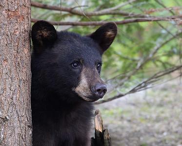 Black Bear Looking 1, Morgan, Vt