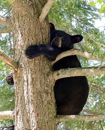 Black Bear In Tree 2, Morgan, Vt