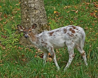 Whitetail Piebald Fawn 1, Derby, Vt