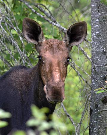 Moose Cow 1, East Haven, Vt
