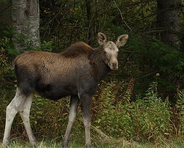 Moose Calf, Holland, VT