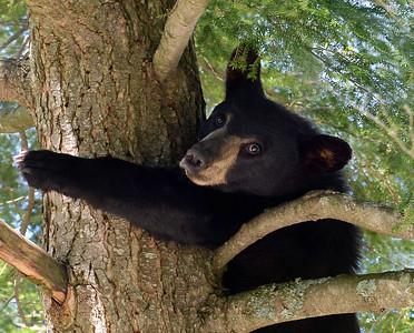 Black Bear In Tree 1, Portrait, Morgan, Vt