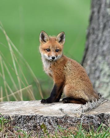 Red Fox Kit 3, Charleston, Vt