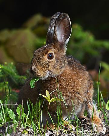 Snowshoe Hare In May 1, Morgan, Vt