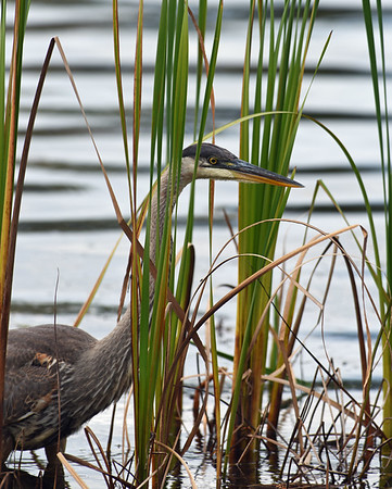 Great Blue Heron In Reeds, Eagle Point NWR, Derby, Vt
