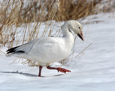 Snow Goose, Victory, Vt