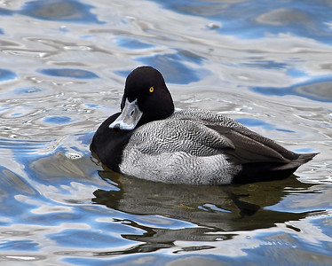 Ring Necked Duck, Seymour Lake, Vt