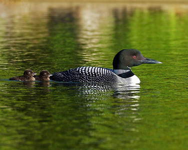 Loon and Chicks In Tow, Seymour Lake, Vt
