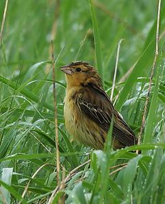 Bobolink, Female, Eagle Point NWR, Derby, Vt