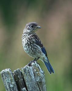 Eastern Bluebird, Juvenile, Eagle Point NWR, Derby, Vt