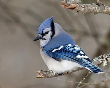 Blue Jay 1, Victory, Vt