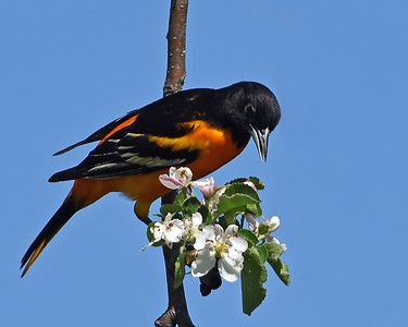 Baltimore Oriole 2, Eagle Point NWR, Derby, Vt